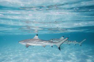 Haie in der Südsee